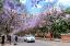 ถนนสายดอกจาคาแรนด้า เมืองคุนหมิง